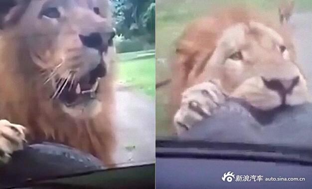 狮子咬住备胎不松口 吓坏车里一家人