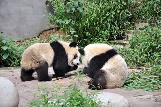 两只可爱的小熊猫&nbsp