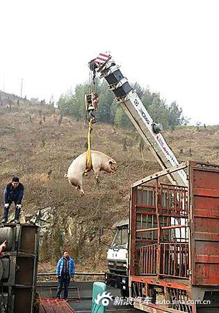 载猪货车侧翻 猪被吊半空中