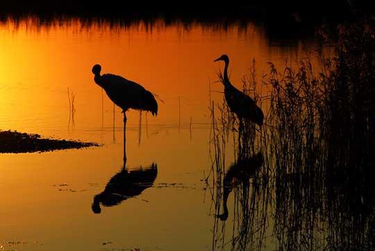 扎龙湿地 属于丹顶鹤的黄昏(组图)