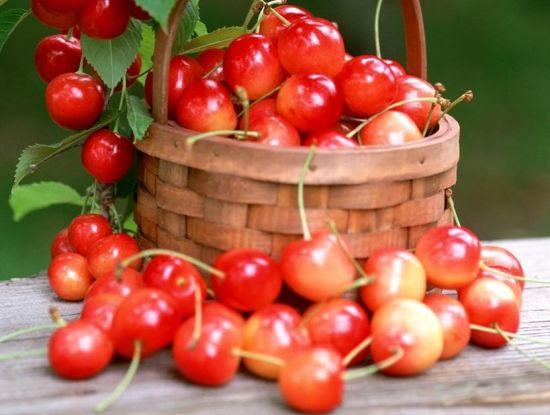 陕西摘樱桃好去处 白鹿塬万亩樱桃园