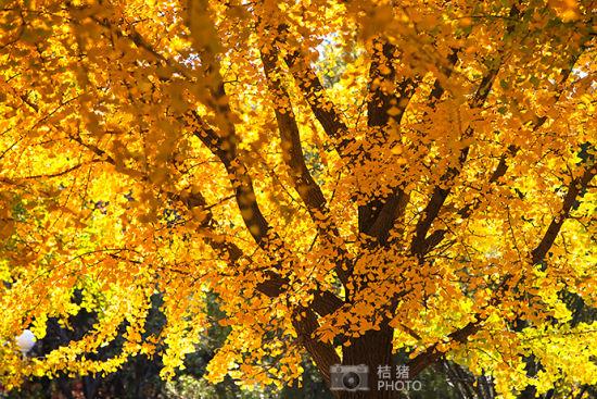 中山公园,让银杏把秋天染黄