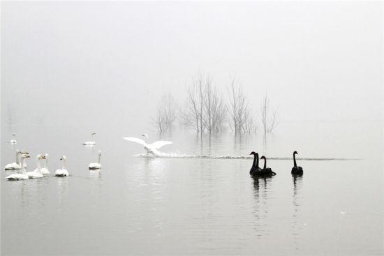 平陆湿地天鹅 摄影:白英