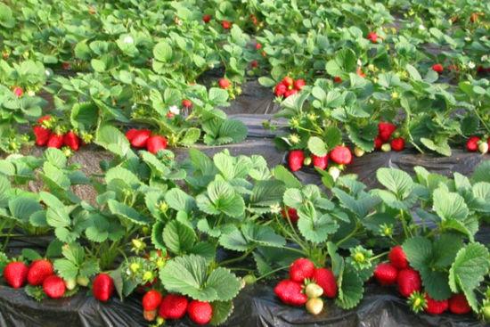 西安周边九大草莓采摘基地吴升草莓园