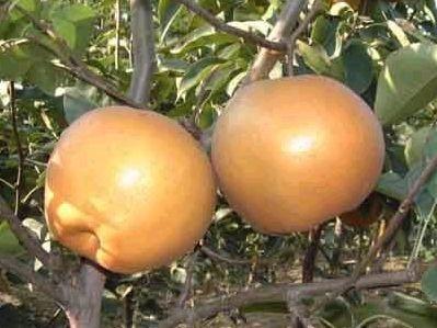 高平大黄梨