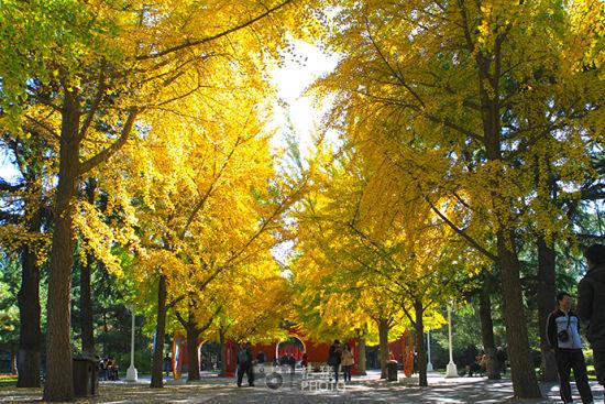 中山公园 让银杏把秋天染黄(图)