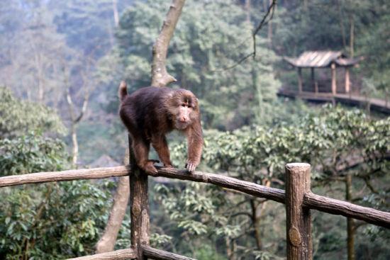 峨眉电影频道主持人陈旭莹_其实,关于峨眉山灵猴的野蛮我早有耳闻,抢手机,跳上游人的肩膀不下来
