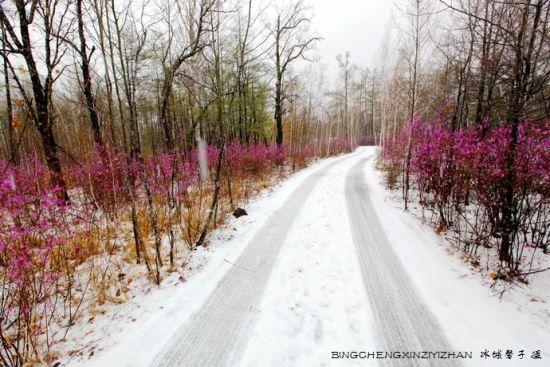 达尔滨湖五月雪 兴安杜鹃雪中情