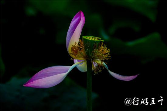白洋淀千姿百态的六月花神(图)