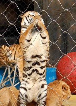 壁纸 动物 虎 老虎 猫科 桌面 267_372 竖版 竖屏 手机
