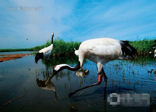 扎龙湿地鹤舞似神仙(图)