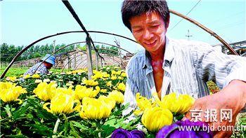 """图文-""""错季""""菊花亮相奥运花卉展明年为奥运服务"""