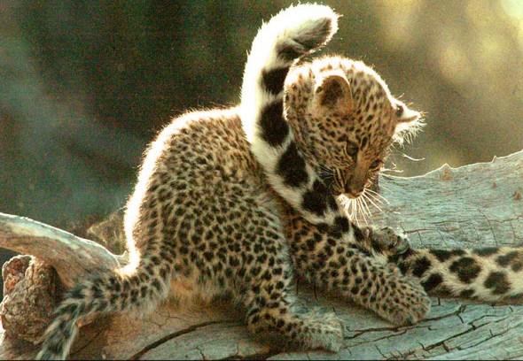 美洲豹幼仔
