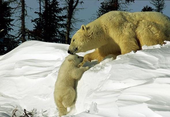 北极熊幼仔