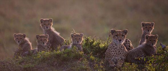 无法忍受的x游戏_肯尼亚猎豹母亲教授六只幼崽捕猎(组图)(2)_科学探索_科技时代 ...