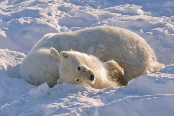 无法忍受的x游戏_全球变暖致北极熊遭灭绝厄运:杂交熊出现(图)(2)_科学探索_科技 ...