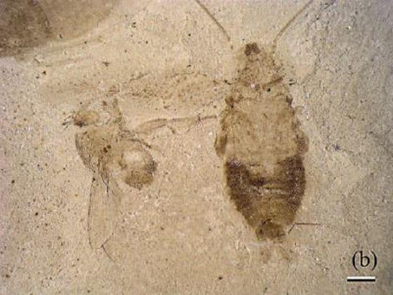 35厘米有多长_北美洲发现4900万年前古老蟑螂化石|化石|发现|蟑螂_科学探索 ...