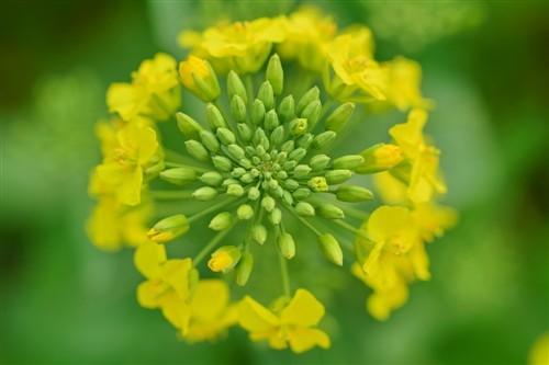 操逼黄色小�9�d_城市中的黄色花海 尼康d5300拍油菜花