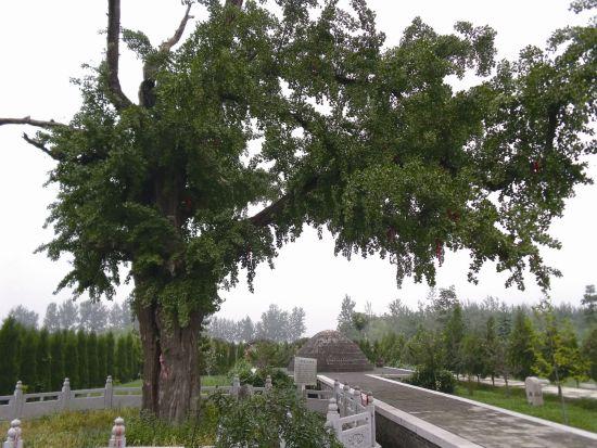 圖6 丹陽真人馬鈺為王重陽守墓時栽種的銀杏樹
