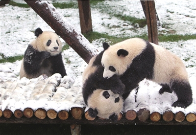 世博大熊猫沪上过春节