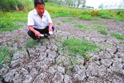 枣阳太平一中_湖北重旱农民拔枯玉米喂牛 大牲口每天喂一瓢水 干旱_新浪新闻
