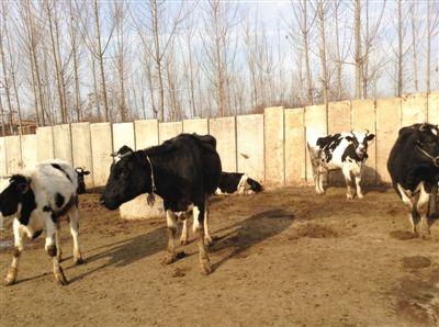 羊吃猪奶视频_河北奶农因奶价狂跌每日倒奶 养猪户买鲜奶喂猪 养猪户_新浪新闻