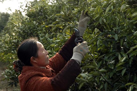 圖文:桂林市資源縣果農在修剪被凍壞的臍橙樹