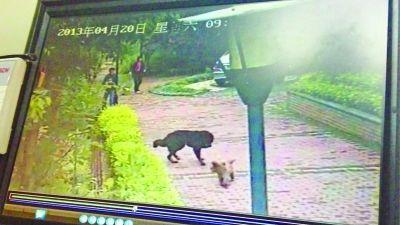 藏獒咬人视频_藏獒咬伤20多人被5名民工打死(组图)|藏獒|民工|小区_新浪新闻