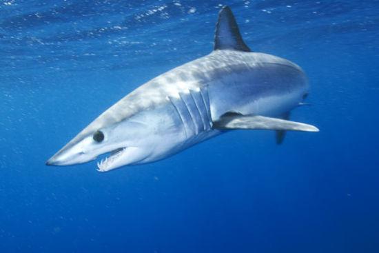 鲨鱼 鱼翅图片_环保组织:若不阻止鱼翅消费鲨鱼30年将被捞尽|鱼翅|鲨鱼|鱼翅 ...
