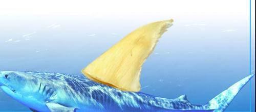 鲨鱼 鱼翅图片_环保组织驳拒食鱼翅是浪费:捕鲨动力源自需求|环保组织|鱼翅 ...