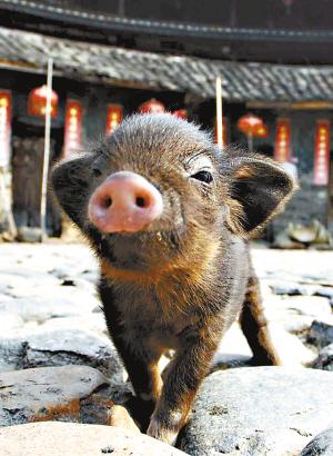 羊吃猪奶视频_母狗当娘喂猪娃_新闻中心_新浪网