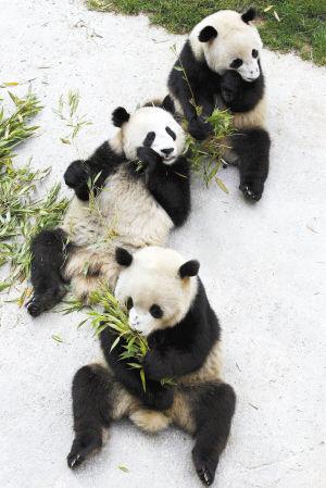 """雅安大熊猫基地_寄养昆明的3只大熊猫要回家了 汶川地震后来昆""""疗伤"""",七八两 ..."""