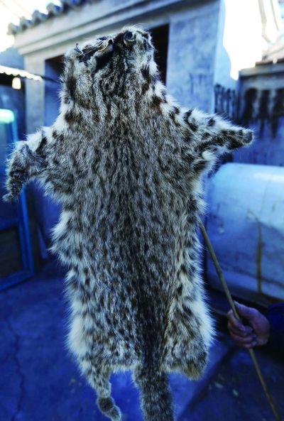 山斑鱼图片_老王家还有数张山狸子皮图片
