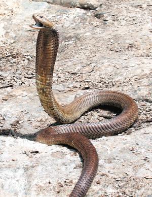 世界上最大五头蛇_世界上最大三头蛇-15世界上最大的三头蛇 世界上最毒的三眼蛇 图片