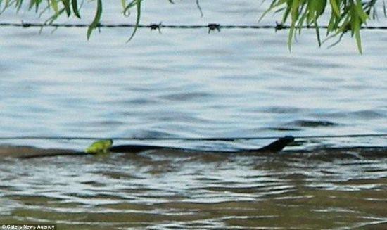 青蛙骑在蛇的背上逃生