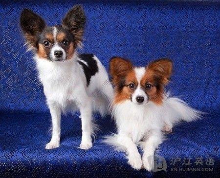 盘点:十种最适合家养的小型犬 双语 新浪教育 新浪网