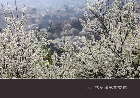 白白的梨花 图片来源:一曲彩虹 新浪博客