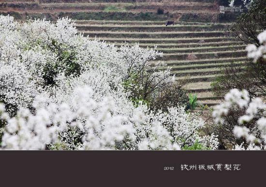 美丽的梨花 图片来源:一曲彩虹 新浪博客